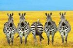 Le strisce bianche e nere aiutano le zebre contro il caldo