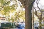 Alberi non potati, cresce una piccola giungla a Palermo. Erbacce sui marciapiedi, ecco dove