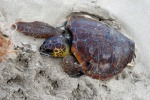 Tartaruga Caretta Caretta salvata a Gela
