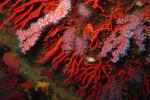 Coralli a rischio? Un aiuto dagli integratori alimentari