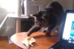 Le più curiose reazioni dei gatti davanti ad una... banana: il video fa il giro del web