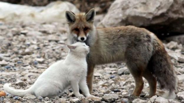 mammiferi, volpi, Sicilia, Società