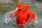 """Ibis """"altruisti"""": quando migrano fanno squadra"""