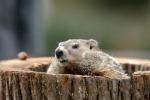 """Ancora sei settimane d'inverno: il """"verdetto"""" della marmotta Phil"""