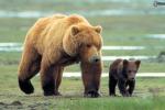 L'inverno è mite: a Yellowstone orsi grizzly già svegli