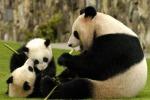 Aumenta la popolazione dei panda giganti in Cina - Foto