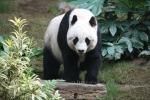 Collari Gps svelano tutti i segreti della vita dei panda