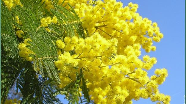 donne, Festa della Donna, mimosa, Sicilia, Società