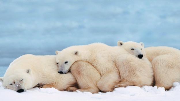 cucciolo orso polare, orso polare, Sicilia, Società