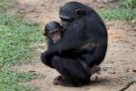 Le piantagioni industriali minacciano le grandi scimmie