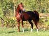 Torna a San Vito lo Capo lo show dei cavalli arabi