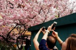 Ciliegi in fiore, il Giappone si tinge di rosa: Tokyo è la meta preferita
