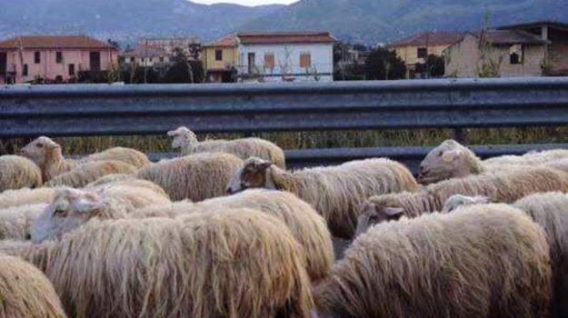 pecore salemi, Trapani, Cronaca