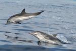 Eolie, avvistati branchi di delfini stenella