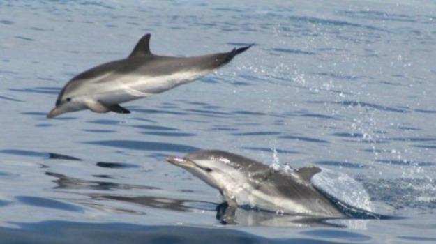 delfini, eolie, filicudi, stenella, Messina, Cronaca