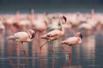 Acqua di mare nelle Saline di Priolo: salvati 51 pulcini di fenicotteri rosa