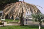 Punteruolo, in Sicilia allarme rientrato: rimosse a Palermo 3 mila palme