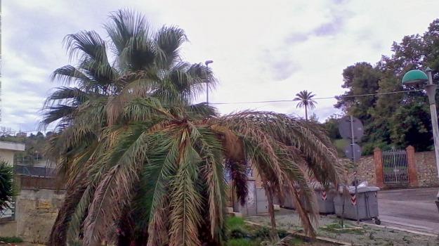 milazzo, palme, punteruolo, Messina, Cronaca