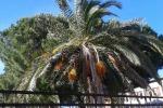 San Cataldo, i 5 Stelle: abbattere le palme malate