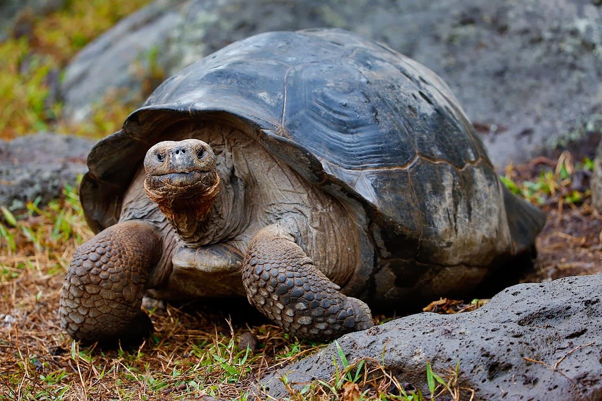 Tartarughe delle galapagos golose di piante invasive for Lago per tartarughe