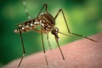 """""""Prede"""" preferite delle zanzare? E' tutta questione di geni"""