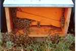 Scoperte arnie con coleottero infestante a Lentini: denunciato l'apicoltore