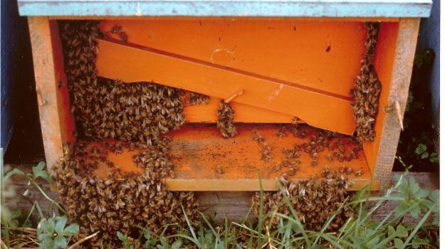 apicoltore, arnie, Coleottero, Siracusa, Cronaca