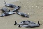 Giappone, 150 delfini spiaggiati: si tenta di salvarli