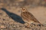 Dall'allodola alla tortora, a rischio in Europa un uccello su tre