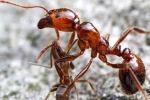 """Sono """"ingegneri"""" del suolo: le formiche di fuoco e i loro segreti"""