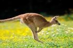 Studio rivela: i canguri sono prevalentemente mancini