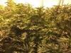 Scoperte 2.500 piante di canapa indiana a Scordia, piantagione sequestrata