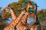Allarme dei biologi: giraffe a rischio estinzione