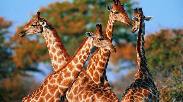 animali, elefanti, estizione, giraffe, International Union for Conservation of Nature, scricciolo di Antiochia, Sicilia, Società