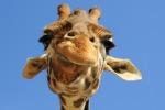 Dalle giraffe al panda, animali nuove star del web: i video subito virali