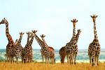Giraffe a rischio estinzione, in natura ne restano 80 mila