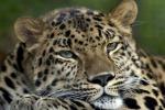 Ritrovato e catturato un leopardo fuggito dallo zoo