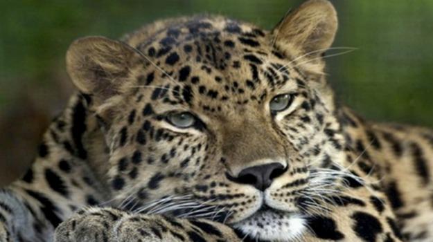 leopardo, zoo, Sicilia, Vita