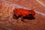 """Scoperte in Brasile sette nuove specie di """"mini"""" rane"""