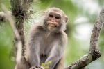 Invasione di scimmie a New Delhi: ora è vietato nutrirle
