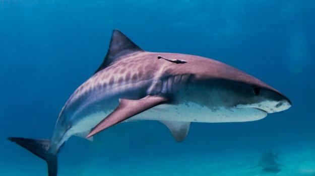 migrazione, squalo tigre, Sicilia, Vita