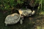 Si aiutano tra loro: in un video l'amicizia fra due tartarughe
