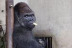 """In Giappone il """"gorilla rubacuori"""" diventa una star"""