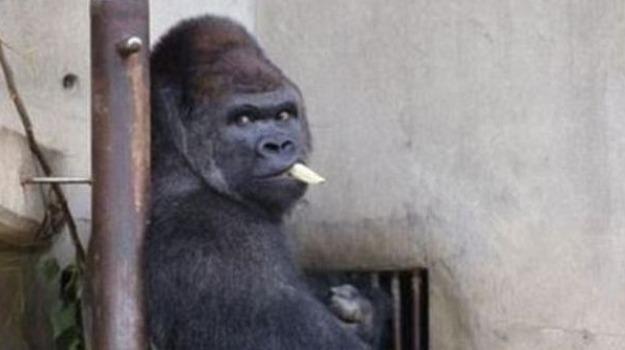 giappone, gorilla, rubacuori, Sicilia, Società