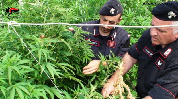 arresto, canapa, carabinieri, coltivazione, droga, Scordia, Catania, Cronaca