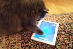 La nuova frontiera del touchscreen: anche i gatti giocano con il tablet - Video