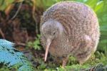 Mappato il Dna del kiwi, il più bizzarro degli uccelli notturni