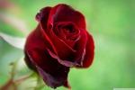 """Il profumo delle rose? Acceso da un """"interruttore"""" nei petali"""
