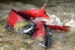 Caldo, morti negli Stati Uniti 250 mila salmoni rossi