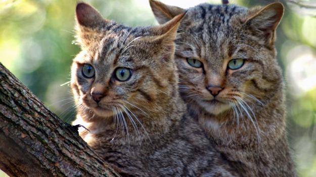 australia, gatti selvatici, Sicilia, Vita